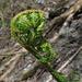 Farnkraut im schattigen Wald