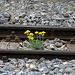 Station Kalpetran: Blumen zwischen dem Gleis der Zermatter Bahn