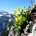 Blumenperlen im Aufstieg zum Hinterhorn