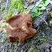 ... und ein aussergewöhnlicher Pilz - eine Lorchel, wie uns Max, Jura- und Pilz-Experte, mitteilt