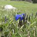 Auch der Frühlingsenzian blüht