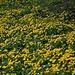 gelbes Blumenmeer II