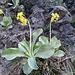 überall blühen Alpenaurikel
