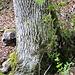Unweit von Burg Wildenfels taucht eine einäugige Bestie hinter einem Baum auf