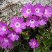 Nur wenige Blumen blühten: Primeln.