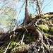 Der Baum klammert sich am Felsen fest.
