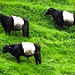 Gestreifte Kühe oberhalb der Gilfenklamm