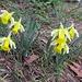 die Gelbe Narzisse (Oster-, März- oder Aprilglocke) ...