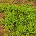 Heidelbeersträucher, typisch für Auwälder und Moorgebiete hier
