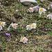 Zahlreiche Frühlings-Kuhschellen (Pulsatilla vernalis) fand ich zwischen 2300m und 2600m so dass ich bei jedem Schritt aufpassen musste um die schönen Blüten nicht zu zertrampen.