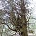 Pianèsc - noch nie habe ich solch eine Rottannen-Art gesehen