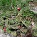 Opuntia ficus-indica, Cactaceae