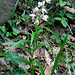 Cephalantera longifolia, Orchidaceae