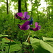 Frühlingsplatterbse (Lathyrus vernus)