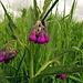 Gemeiner Beinwell, violette Variante