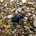 Ein blauschillernder Käfer