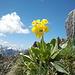 Echte Schlüsselblume (Primula veris) auf Chällihorn