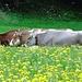 Glückliche Kühe in Wasserauen