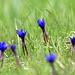 Die Frühlingsenziane öffenen sich langsam