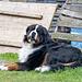 Der Berner Sennenhund auf dem Wandhof begrüsst echte Berner. Er selber stammt aus Österreich ...