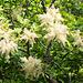 Die Manna-Esche blüht (Fraxinus ornus)