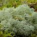 Rentierflechte (Cladonia portentosa)