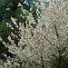 Kirschblüte beim Raaft