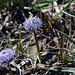 sembrano crisantemi azzurri in miniatura, ma non so il nome