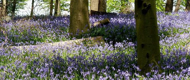 """""""Wald der blauen Blumen"""""""