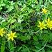 ... inmitten eines Feldes der Gelbsterne ...