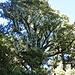 Baum im eleganten Flechtengewand