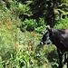 Ungewöhnlich farbige und elegante Kuh