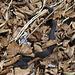 die Talwächterin, Vipera nera (eine Variante der Kreuzotter, Vipera berus)