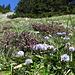 Wiesen voller Kugelblumen und Enzian am Bogartenfirst