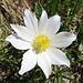 Offene Anemonenblüte
