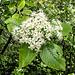 Blühender Mehlbeerbaum (Sorbus aria)