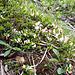 Im Aufstieg nach Tschampedü blüht die Buchsblättrige Kreuzblume (Polygala chamaebuxus)