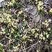 Die Bisse Neuf de Planige ist von der Buchsblättrigen Kreuzblume gesäumt (Polygala chamaebuxus)