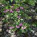 Auch ein alter Bekannter: der Rundblättrige Hauhechel (Ononis rotundifolia)