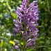 Helmorchis (Orchis militaris)