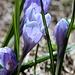 Violetter  Frühlings-Krokus