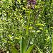 Kurz vor Dardona: ein schöner Bestand der Helmorchis (Orchis militaris)