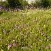 Orchideenwiese am Längentaler Speicher