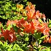 Kuppritzer Park, Rhododendron