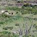Wildnis Dirittusu. Die Kühe fressen alles, was keine Dornen hat. Überall wuchern Brombeeren.