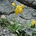 Im festen Fels finden sich dann auch wieder Aurikeln, da haben sies gern...