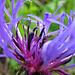 Die erste Bergflockenblume der Saison :-)