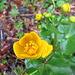 Diese Blume bevorzugt feuchte Standorte - sie hätte sich heute fast überall wohl gefühlt...