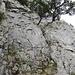 Felsrinne am Einstieg des Süd Schär. Oberhalb des Bäumchens gelangt man sofort in einfacheres Gehgelände