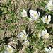 die Wiesen sind blütenübersäht .. Weiß ...